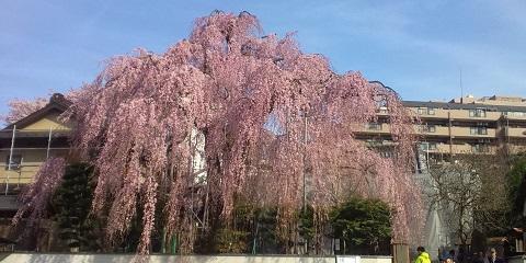kourakuji sakura1.jpg